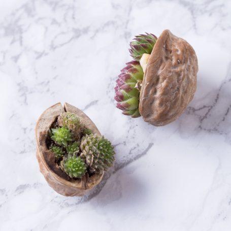 succulents walnut shells