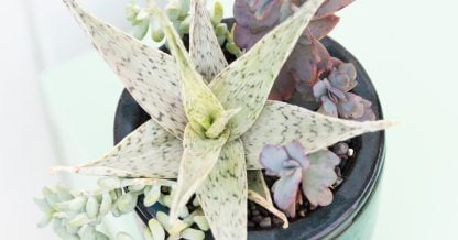 summer succulent care tips