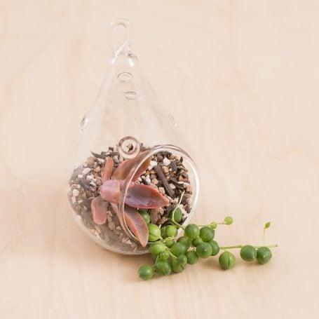 terrarium succulent cuttings