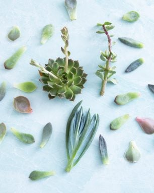 the succulent source cuttings