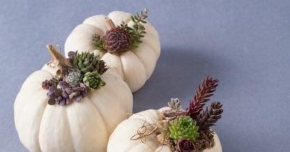 three mini white pumpkins succulents