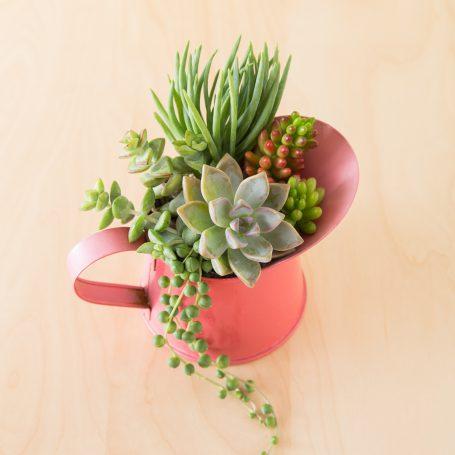 tips arrangement graptopetalum paraguayense ghost plant senecio vitalis crassula rupestris string of pearls red pitcher sedum rubrotinctum