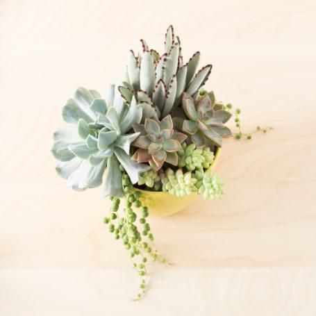 planting tips thriller filler spiller echeveria topsy turvy kalanchoe tomentosa string of pearls sedum burrito ghost plant