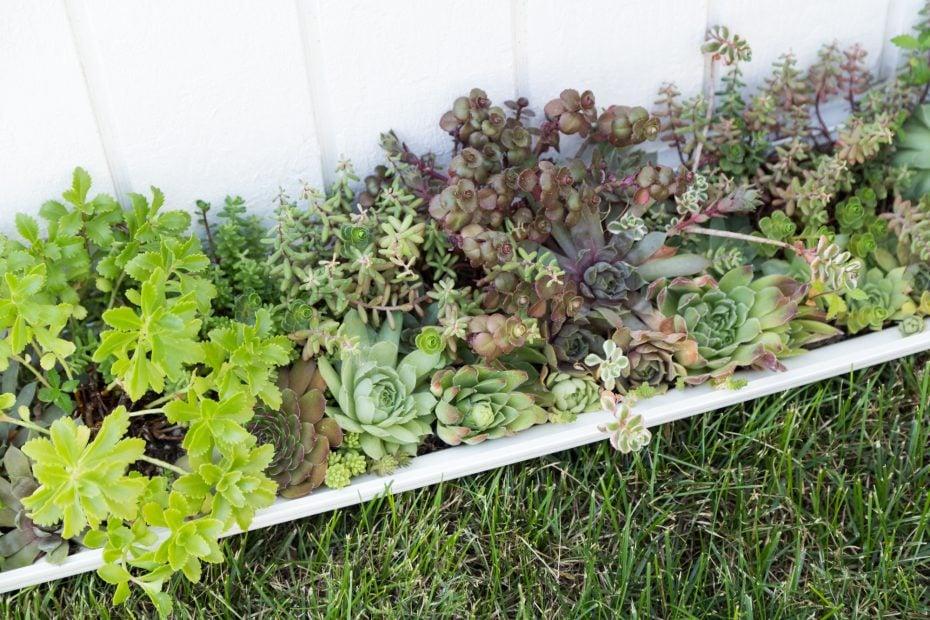 fertilized succulents sedum sempervivum cold tolerant