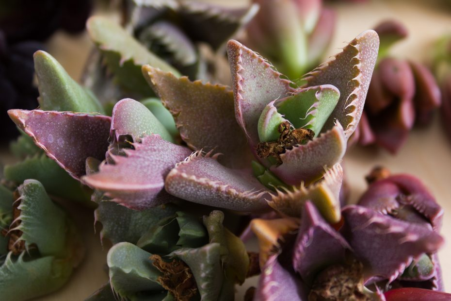purple green tiger jaws succulent cuttings