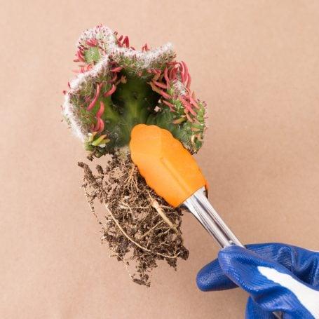 tongs cacti sharp spikey planting