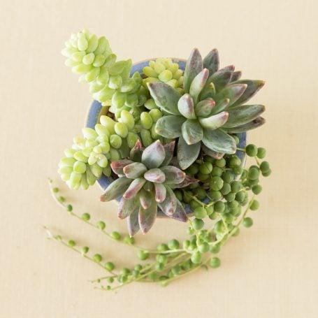 succulent planting tips sedum burrito Pachyphytum compactum little jewel string of pearls