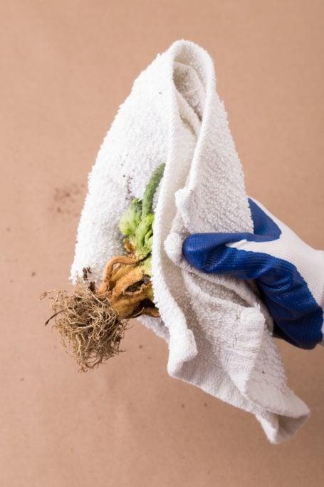 use gloves cloth handling cacti