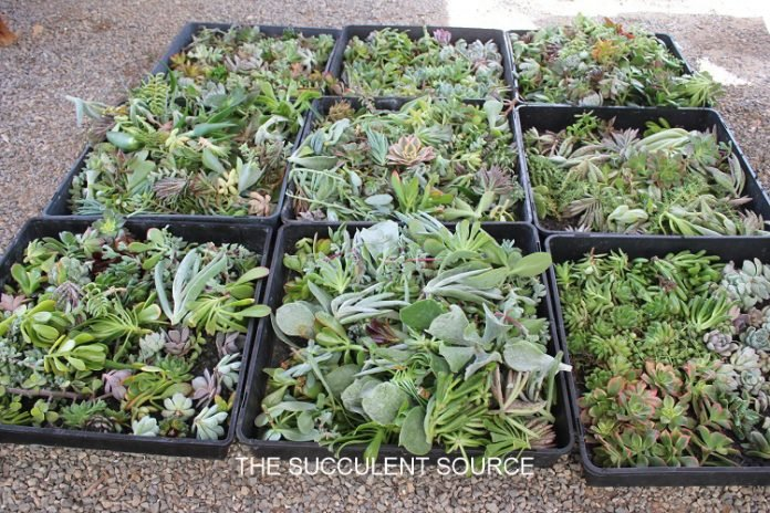 cuttings affordable cheap succulents wedding gifts diy
