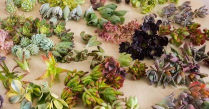 lots of colorful succulent cuttings high quality
