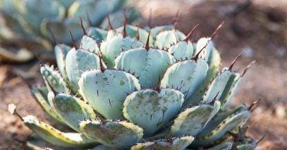 desert botanical garden agave parryi truncata variegata