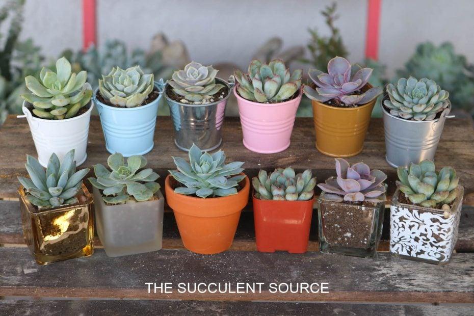 small succulents wedding baby shower gifts favors tin pails glass votive terra cotta pots