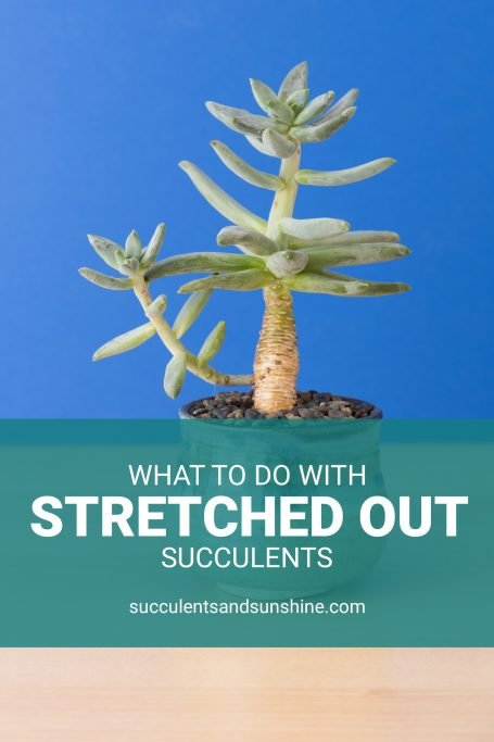 what causes how to fix stretched out succulents