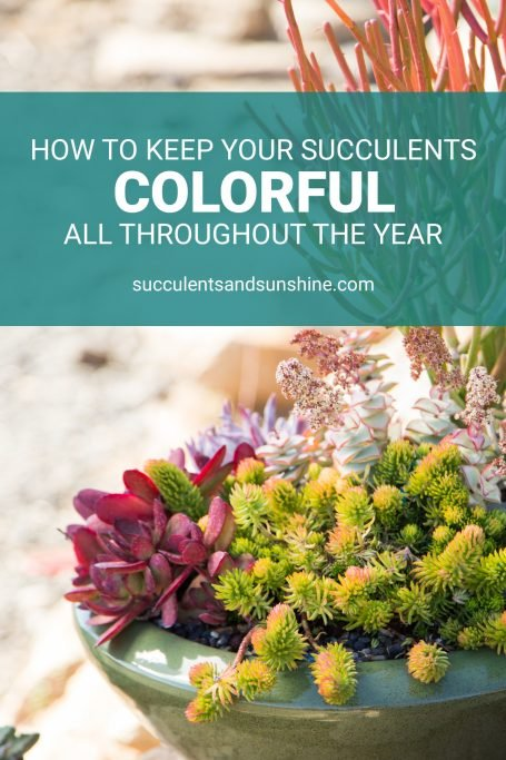 learn how to keep succulents colorful all year round crassula sedum euphorbia