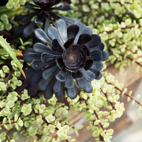 zwartkop variegated elephant bush