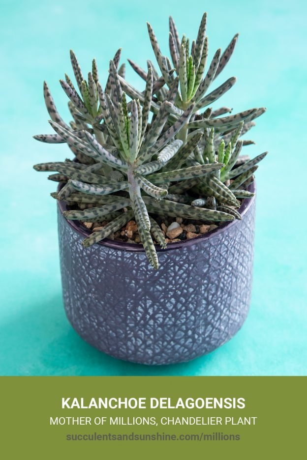 How to care for and propagate Kalanchoe delagoensis Mother of Millions Chandelier Plant