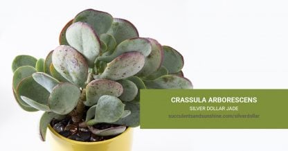 Crassula arborescens Silver Dollar Jade care and propagation information