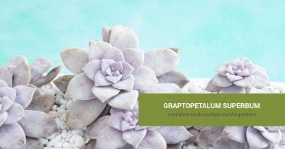Graptopetalum superbum care and propagation information