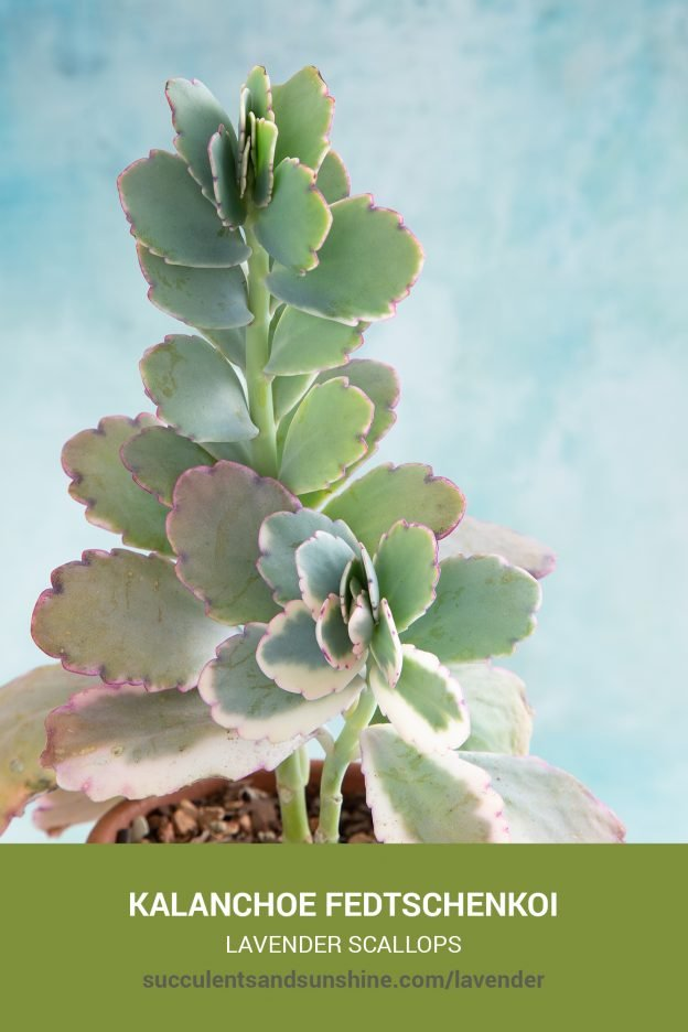 How to care for and propagate Kalanchoe fedtschenkoi Lavender Scallops