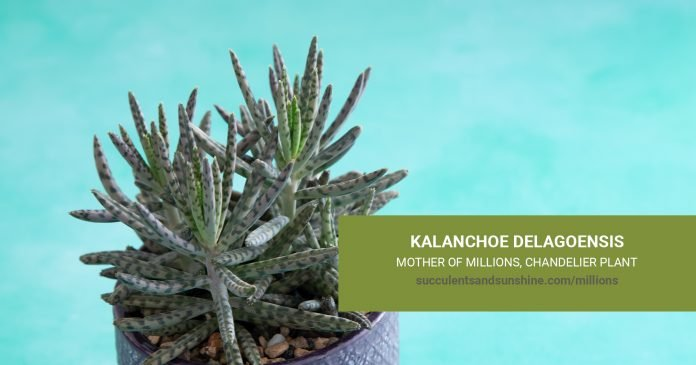 Kalanchoe delagoensis Mother of Millions Chandelier Plant care and propagation information