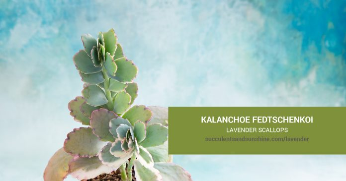 Kalanchoe fedtschenkoi Lavender Scallops care and propagation information