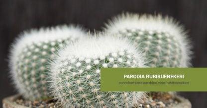 Parodiarubibuenekeri succulent care and propagation information