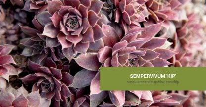 Sempervivum 'Kip' care and propagation information